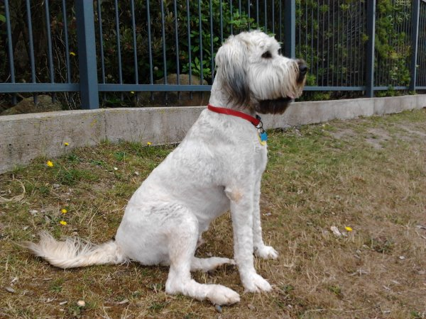 this picture shows Rafi, the soft wheaten terrier, sitting and waiting