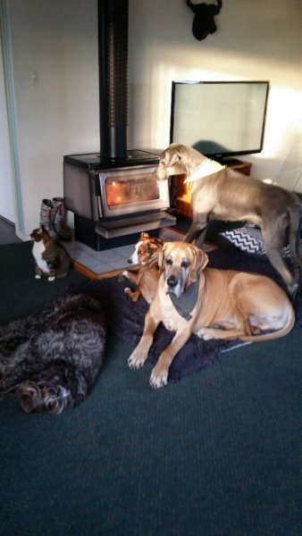 this picture shows Murray sitting by the fire with his animal family: Bert the cat, Gladys the black wire haired pointer, Nellie the collie and China the Great Dane
