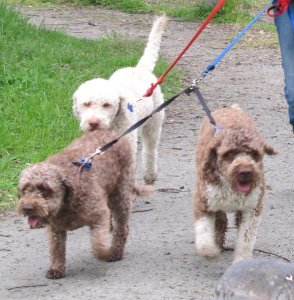 this picture shows three Lagotto Romagnalio dogs walking on the lead