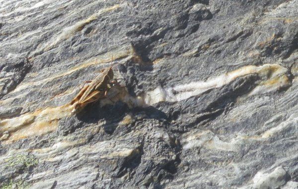 this picture shows one of many grasshoppers on a rock with a quartz strip