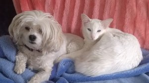 this picture shows Ziggy, a white tonkinese cat, with one of his dog mates, Bonnie, a white Chinese Crested Powderpuff