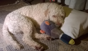 this picture shows Joey, the Lagotto Romagnalio dog, sleeping with his head on the pillow and his soft toy duck